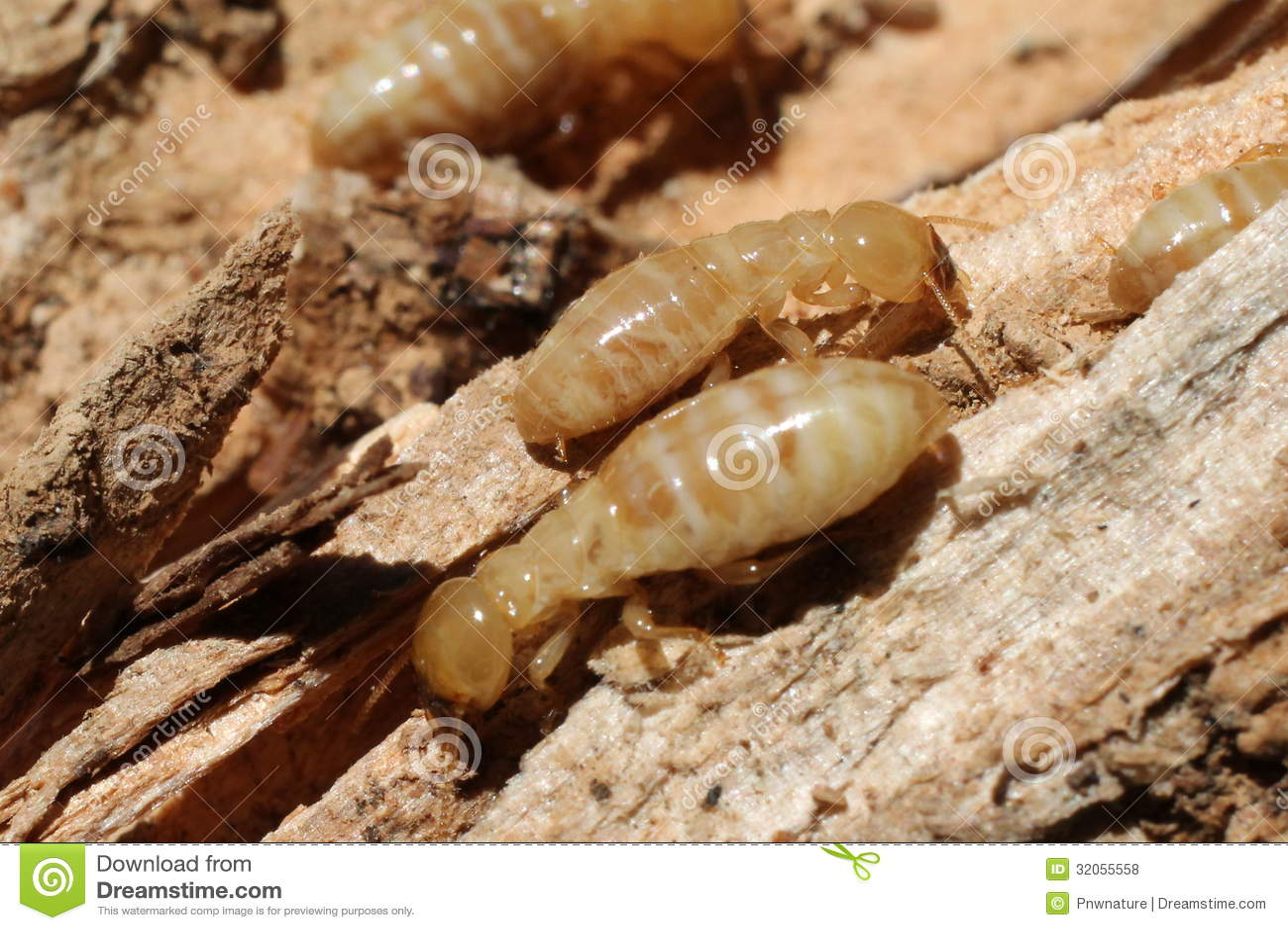 Termite worker - photo#14