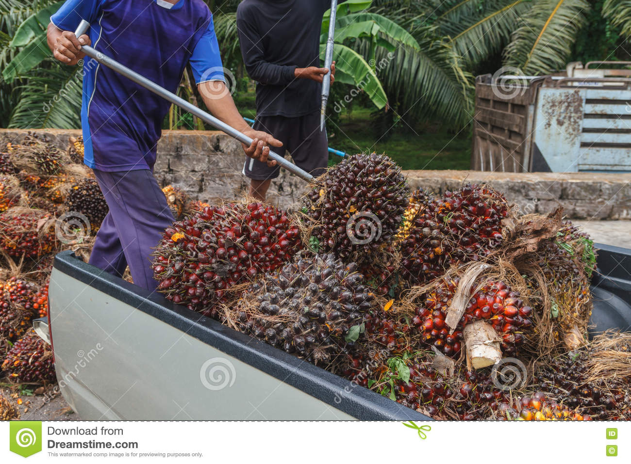 Worker throw oil palm fruit branch out of the truck