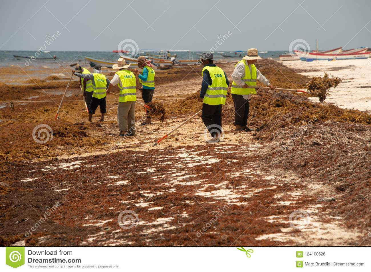 Workers Cleaning Sargassum Seaweed From The Beach Editorial Stock