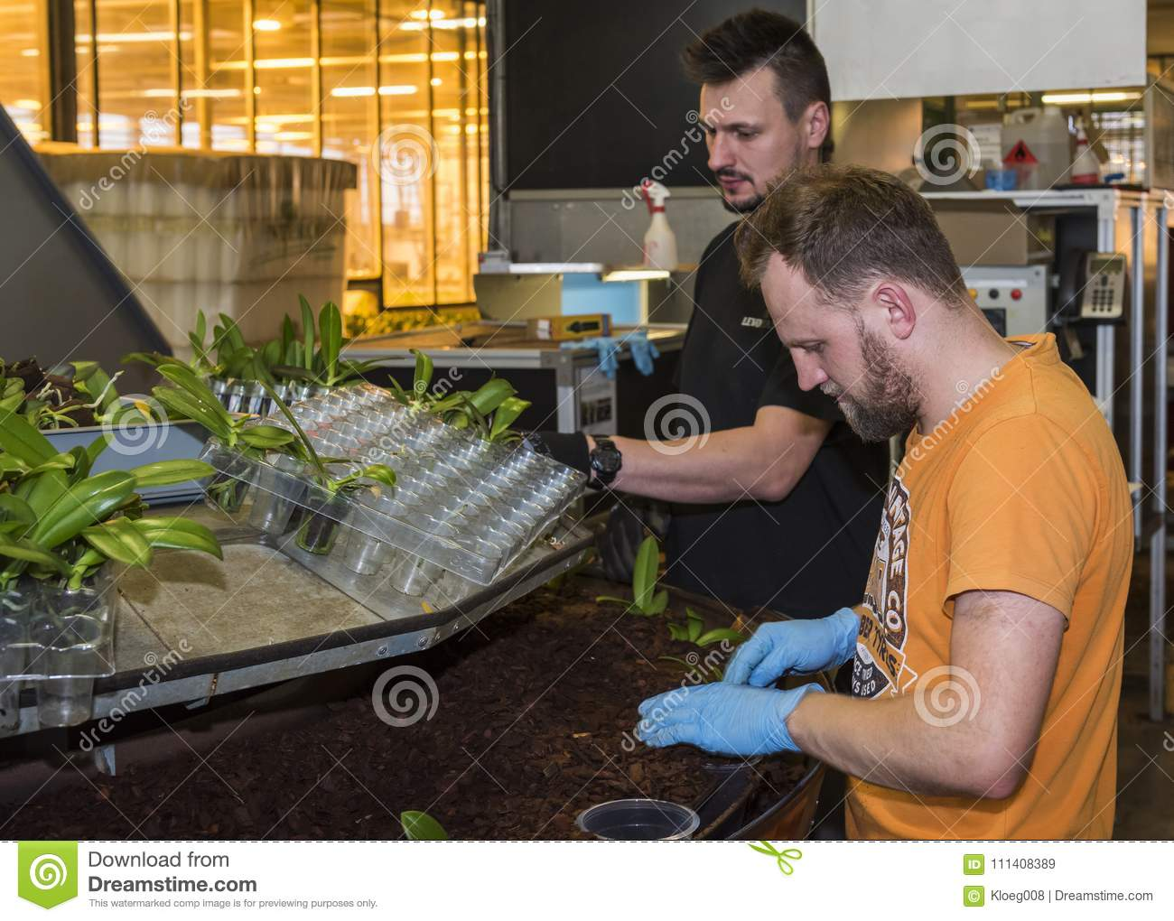 Workers Plant Cuttings Orchid Greenhouse