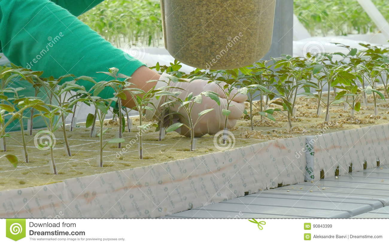 Workers planting tomato sprouts  Science, herbs