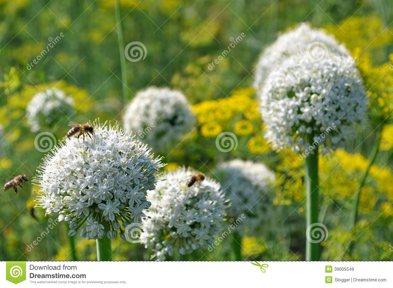 Working bees on the blooming onion and dill