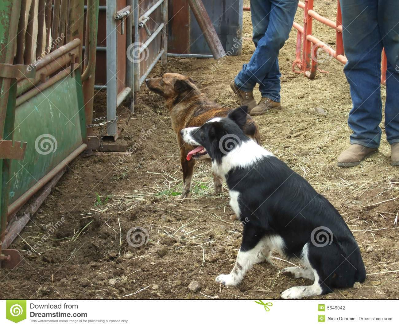 Working Dogs And Cowboys Stock Photography Image 5649042
