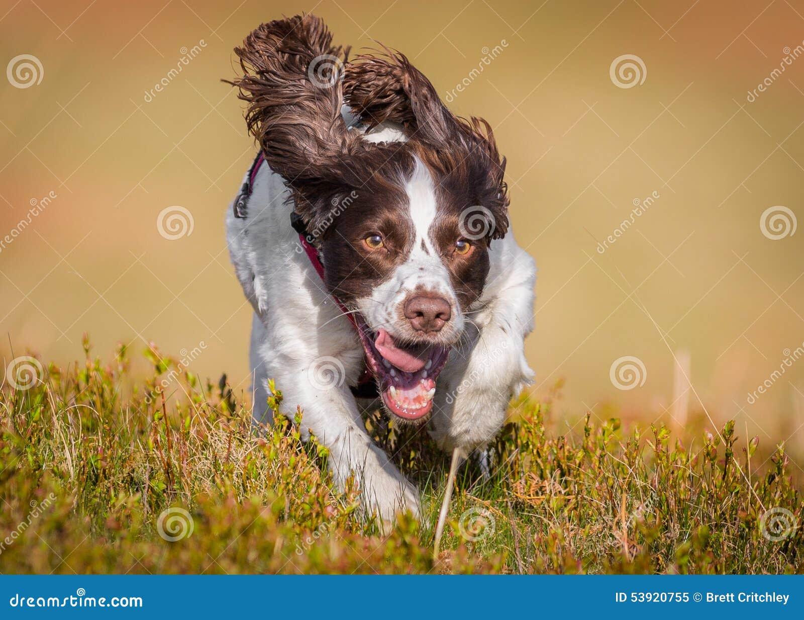 Working gun dog