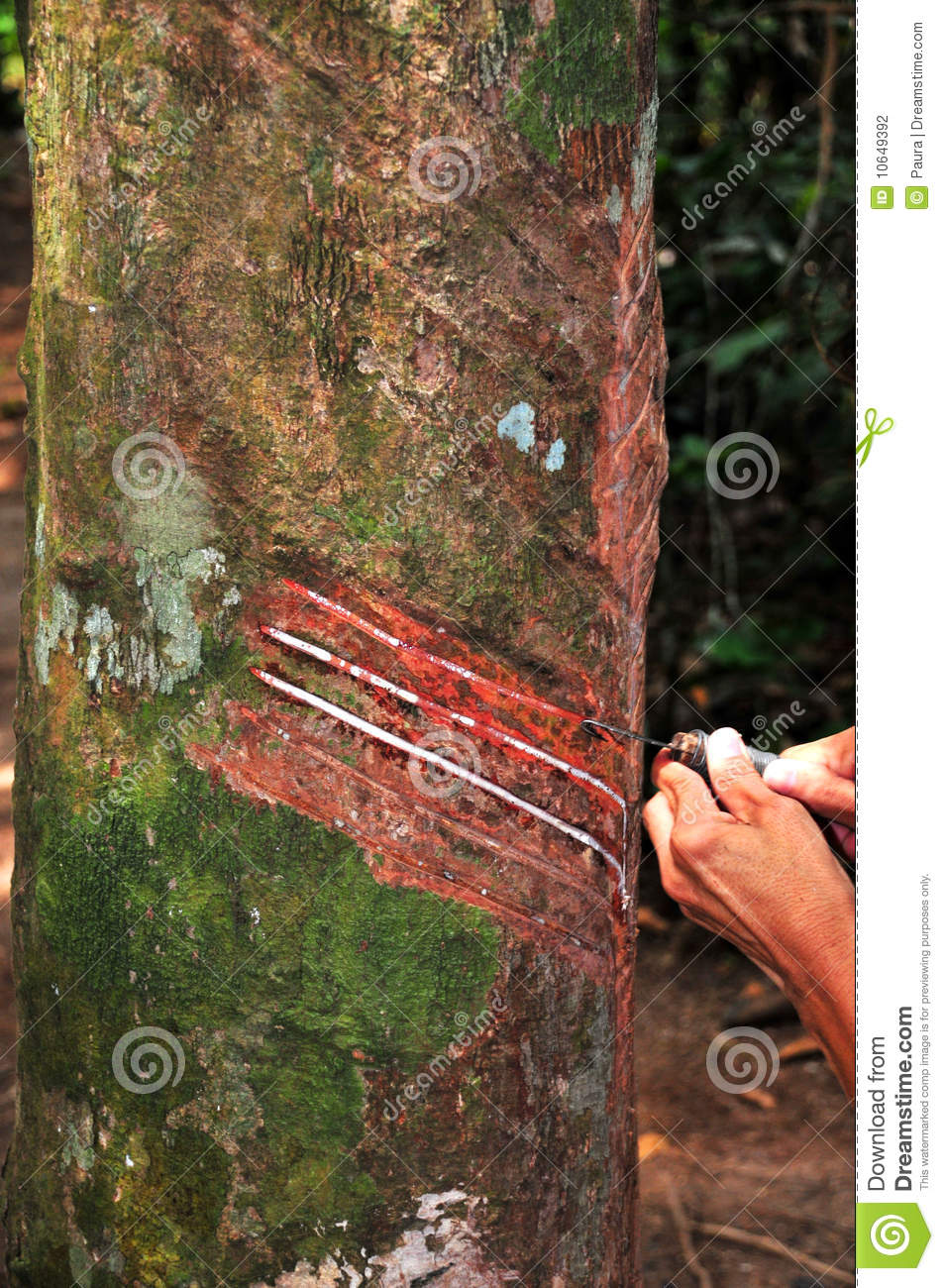 Download Working in a Rubber Tree stock photo. Image of dispersion - 10649392