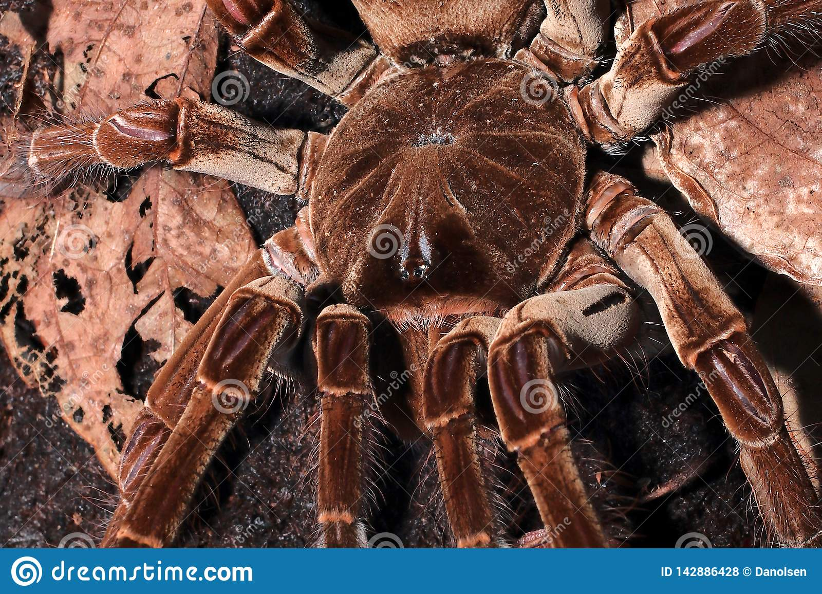 World Biggest Spider Species Stock Photo Image Of Goliath
