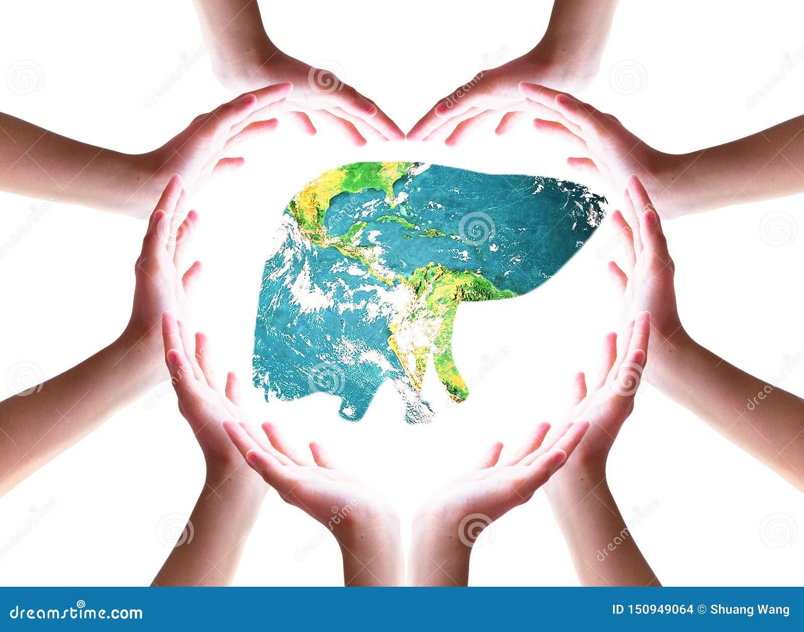 World Hepatitis Day concept: hand holding liver on white background
