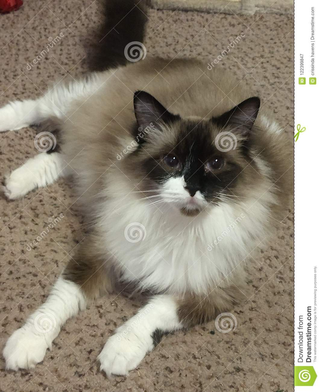 Worlds Most Beautiful Cat Stock Image Image Of Ragdoll 122399847