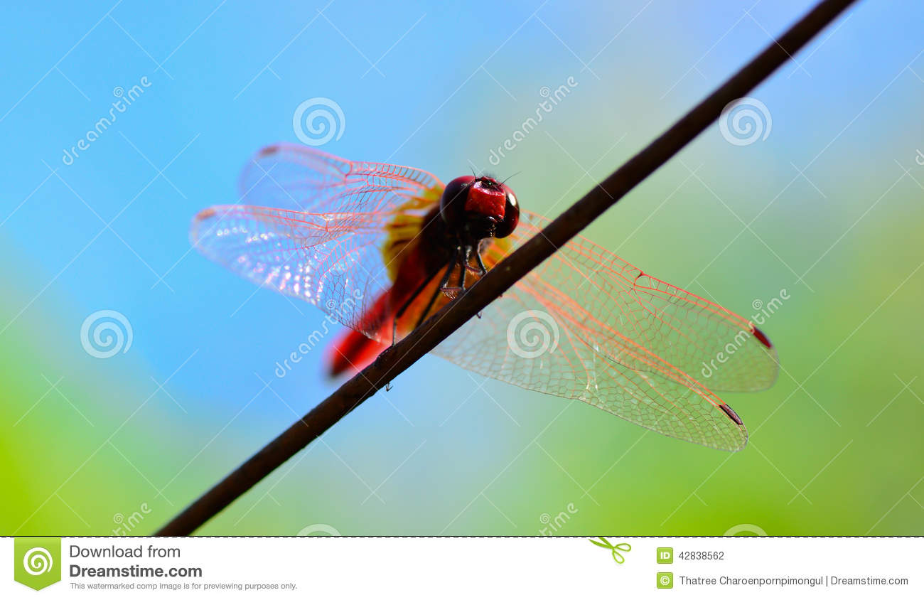 Worm\'s Eye View Of Red Tail Dragonfly Standing On Wire Stock Photo ...