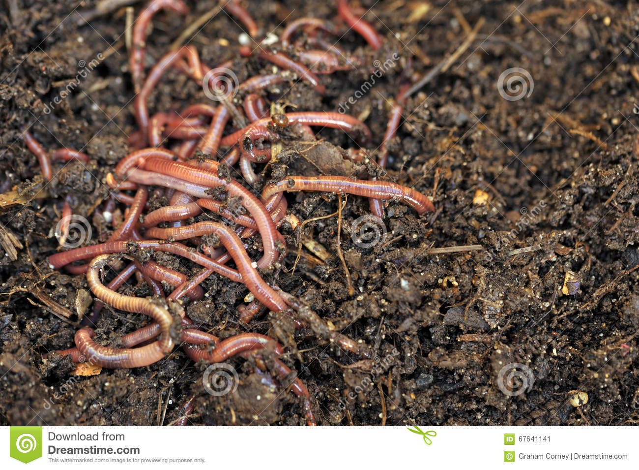 Worms stock photo image 67641141 for Soil improver