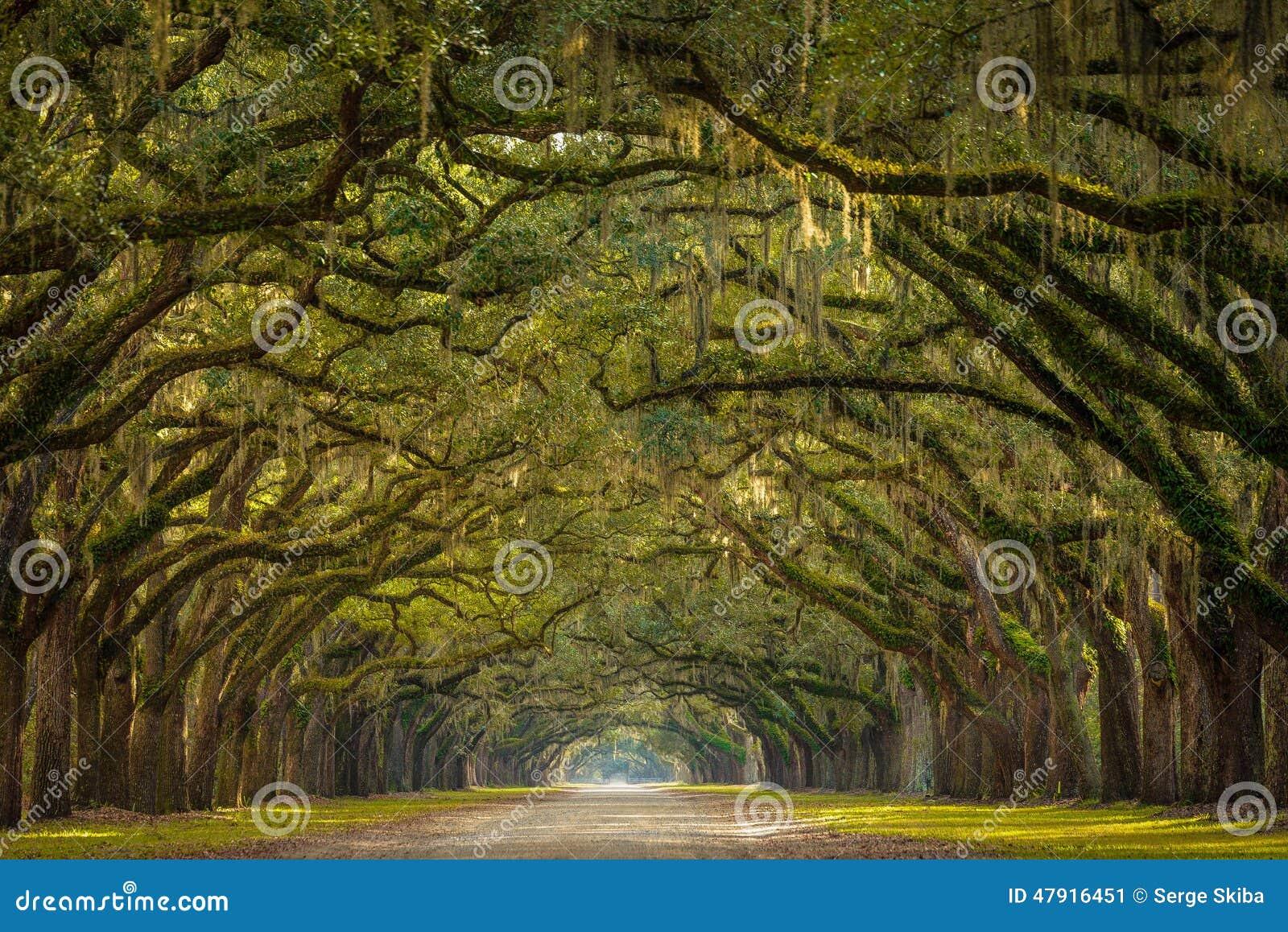 Wormsloe种植园橡树