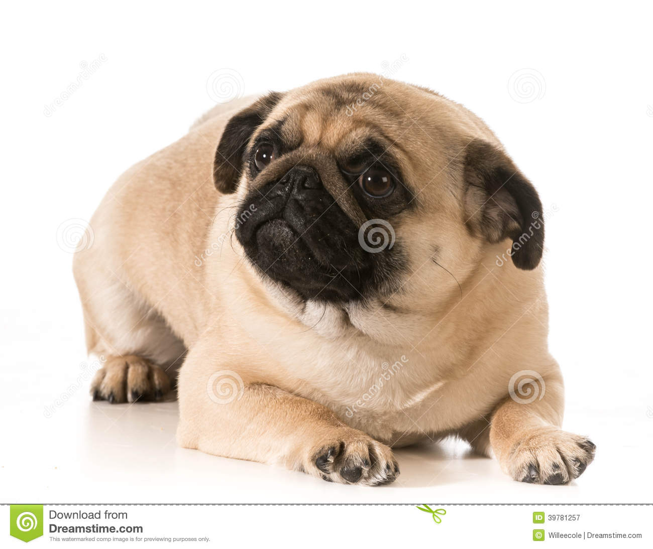 pug laying down worried dog stock photo image 39781257 3677