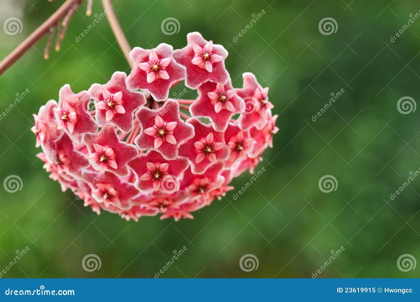 Wosk roślina (Hoya Pubicalyx)