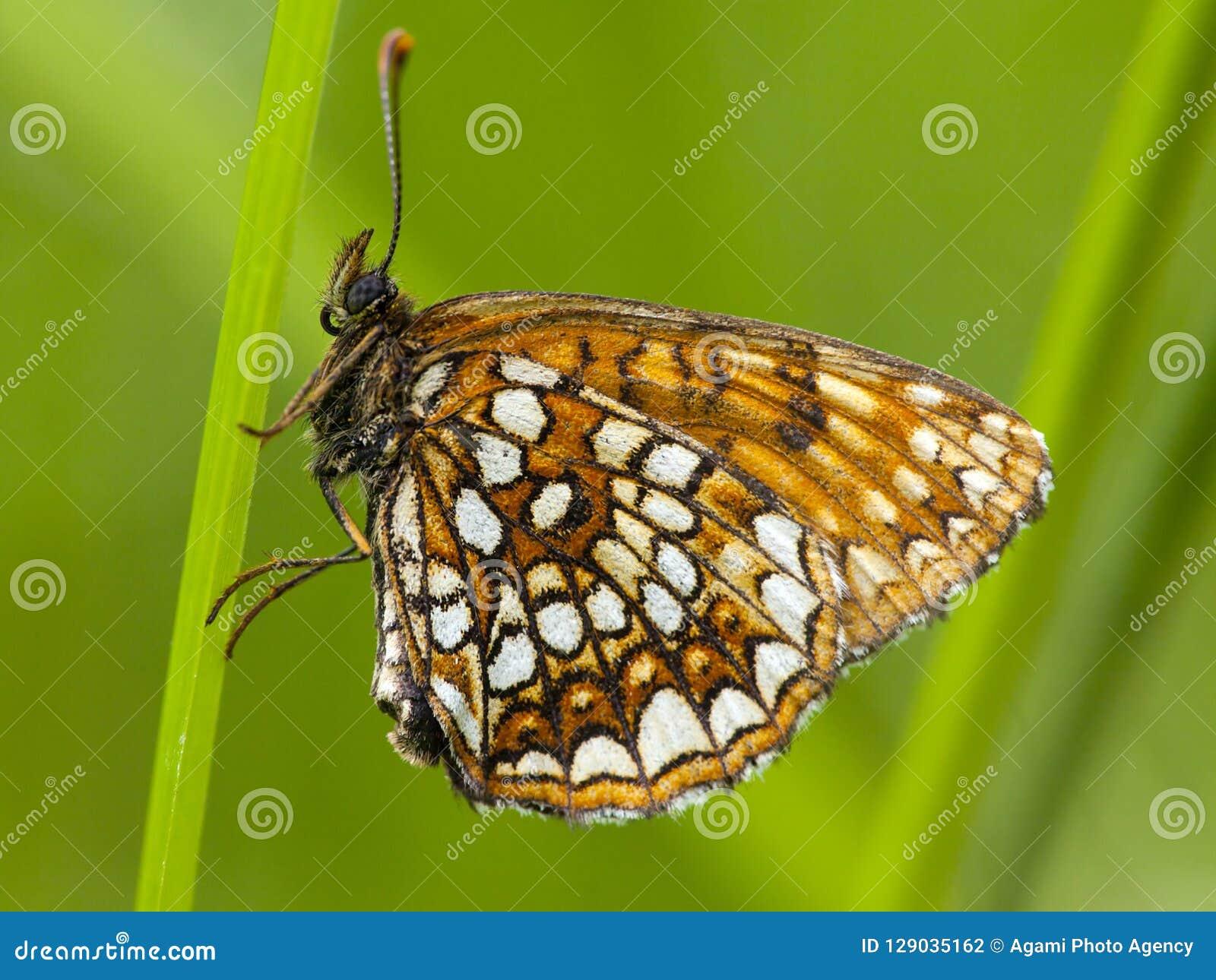 Woudparelmoervlinder falska Heath Fritillary, Melitaea diamina