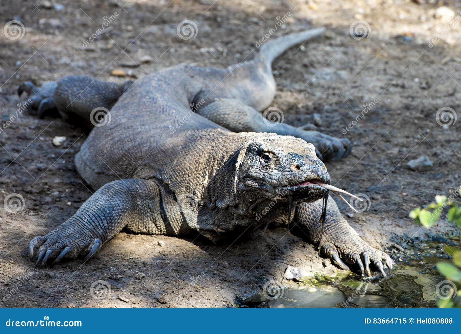 Wow! Ο δράκος Komodo συναντά τυχαία