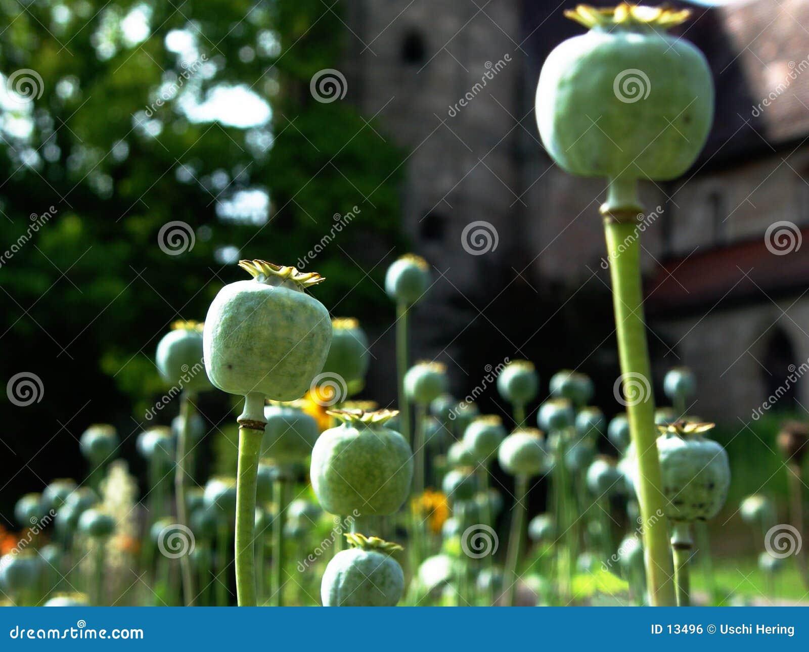 Wpr poppy korony