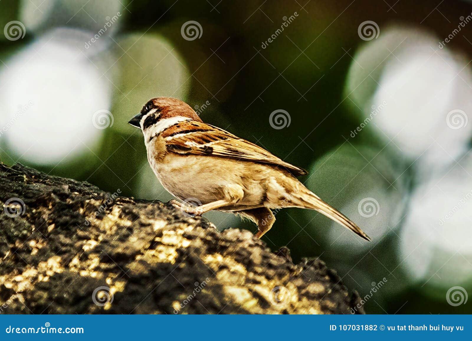 Wróbel gdy ptaki wracają Przechodnia domesticus set uwalnia