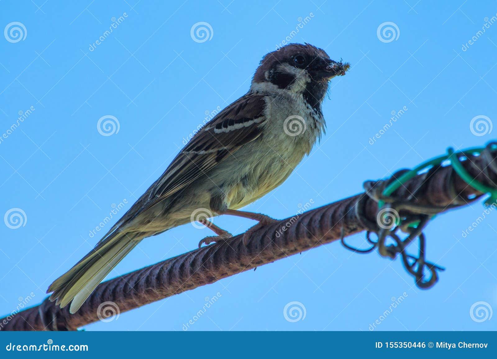 Wróbli obsiadanie na armaturze pod pięknym niebieskim niebem Miastowi ptaki