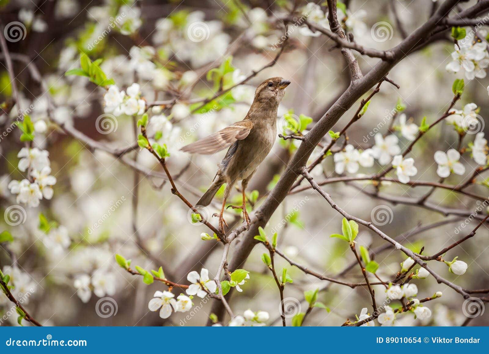 Wróbli obsiadanie na kwiatonośnym drzewie, wróbel w wiośnie Gard
