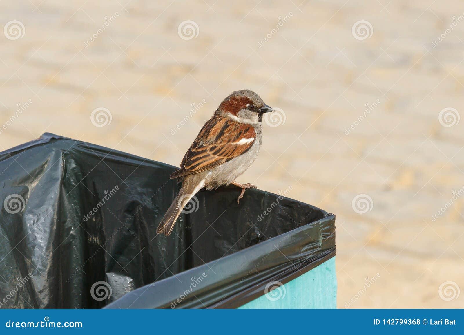 Wróbli obsiadanie na pojemniku na śmiecie