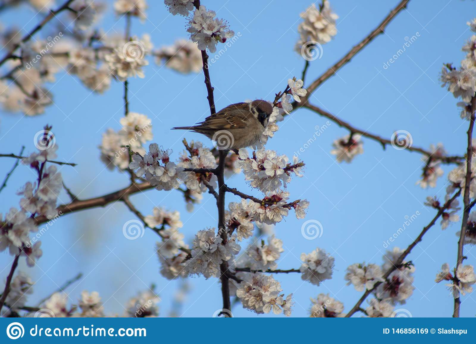 Wróblia szczęśliwa wiosna