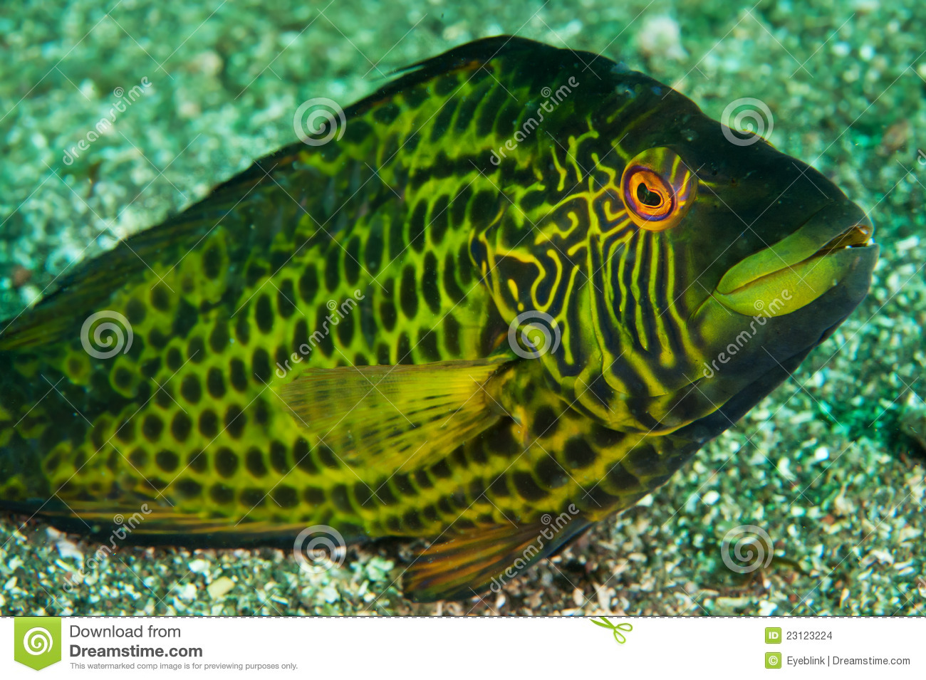 Wrasse do cocktail