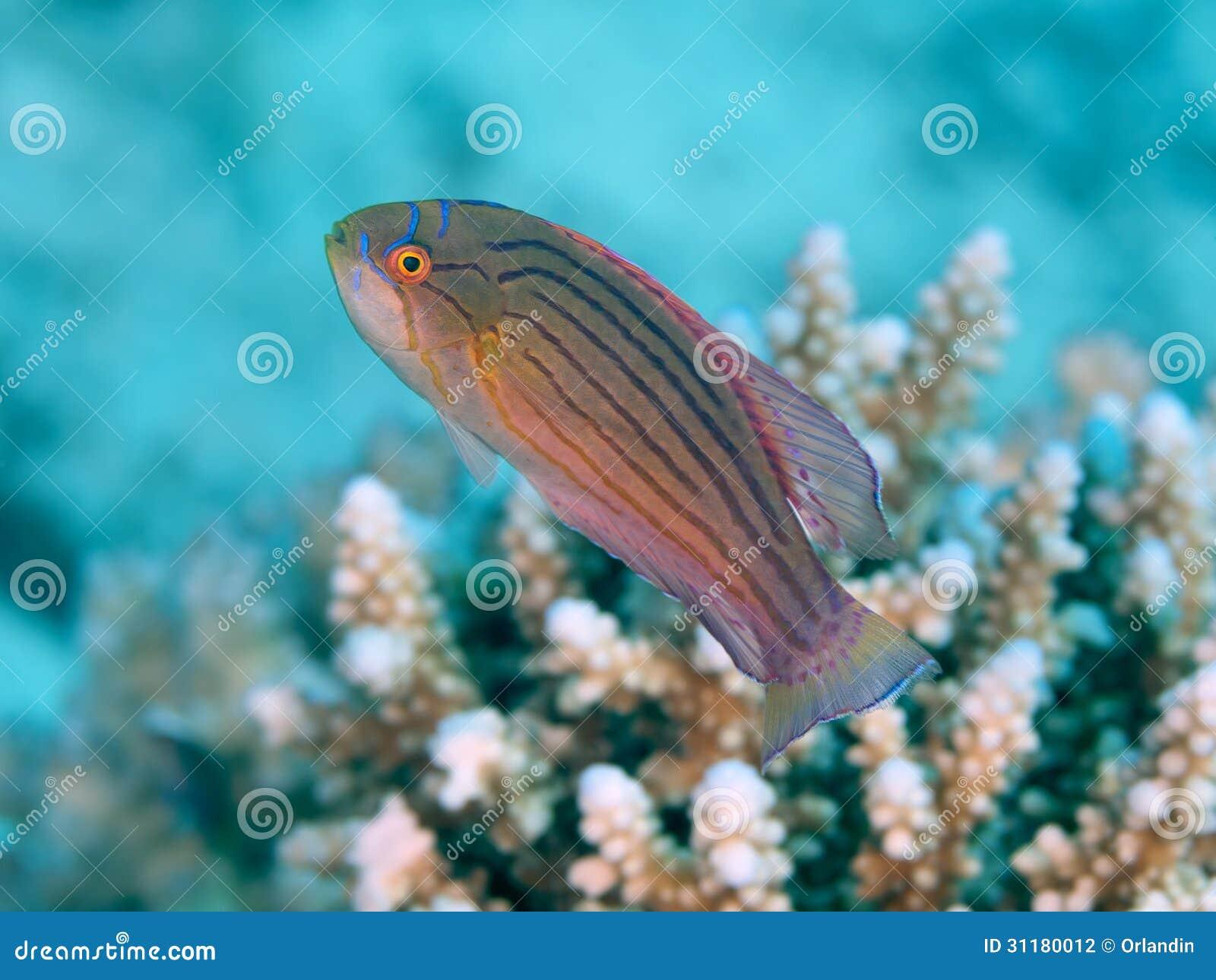 Wrasse do pisca-pisca do Mar Vermelho
