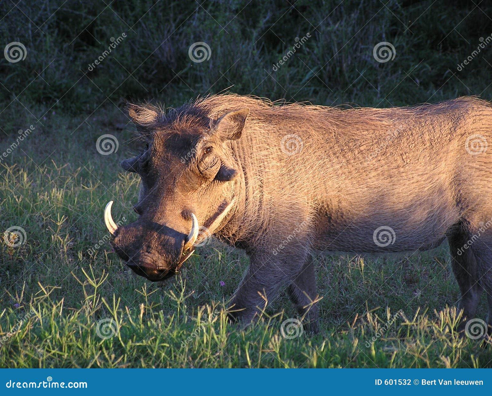 Wrattenzwijn bij zonsopgang