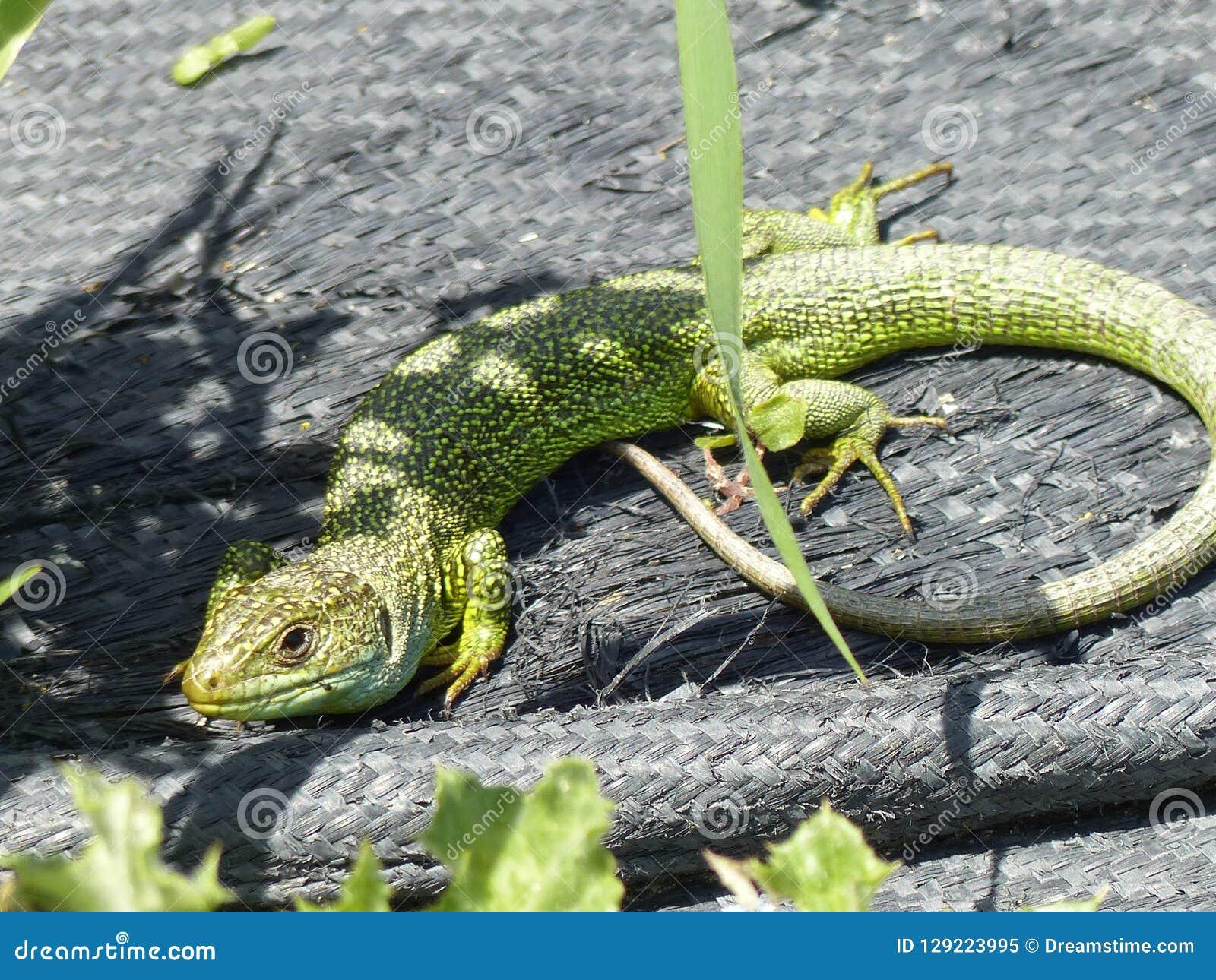 Wreed dier, gekko op de zon