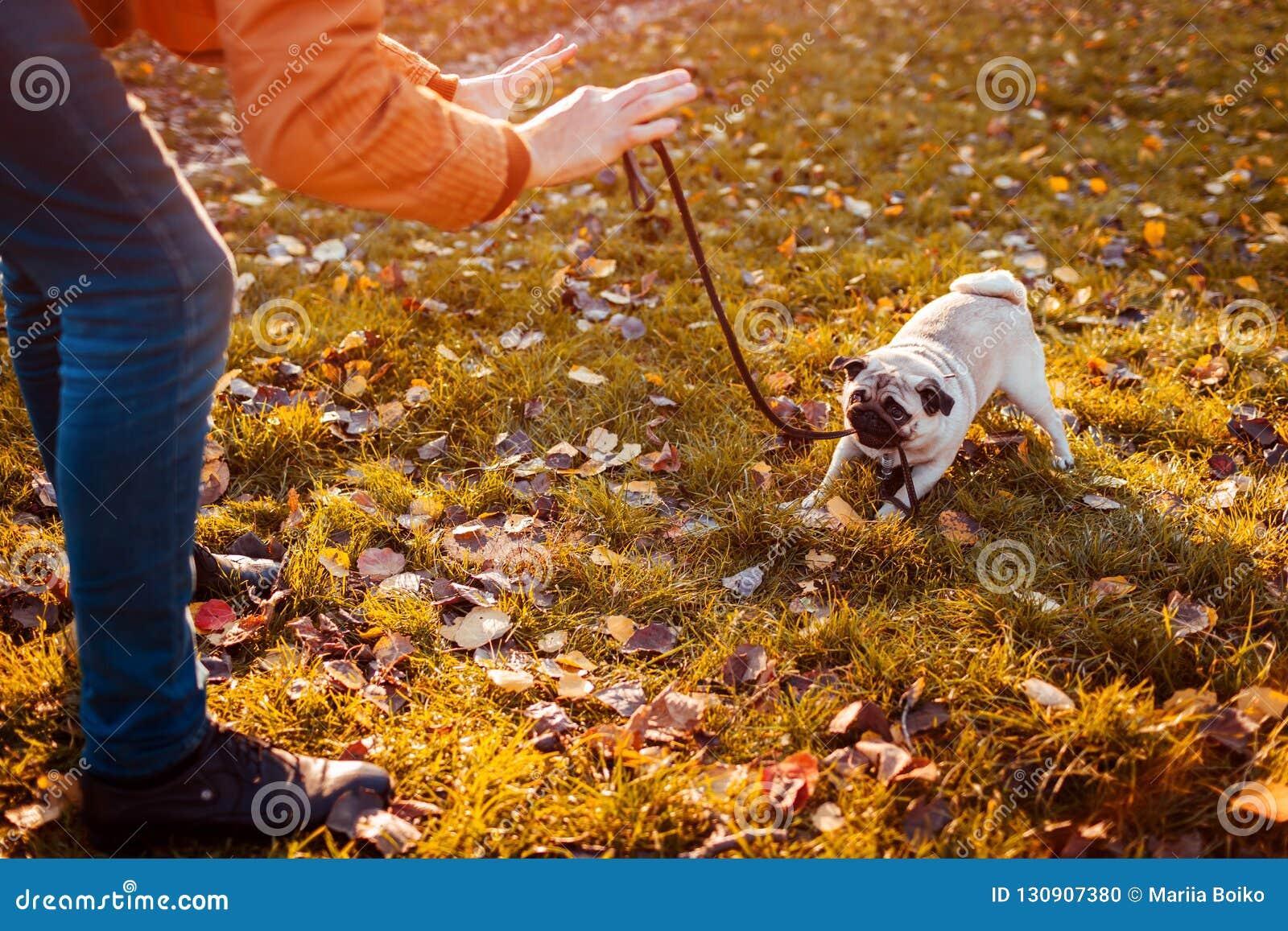 Wreed gedrag met dieren Hoofd het lopen pug hond in de herfstpark Puppy het bijten leiband die weigeren te gaan