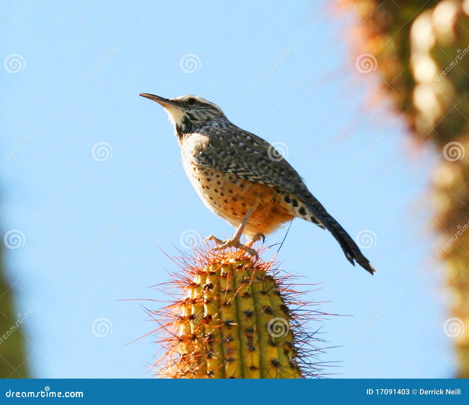 Wren кактуса