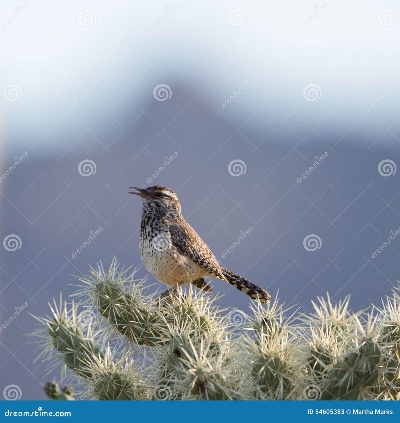 Wren кактуса, brunneicapillus Campylorhynchus