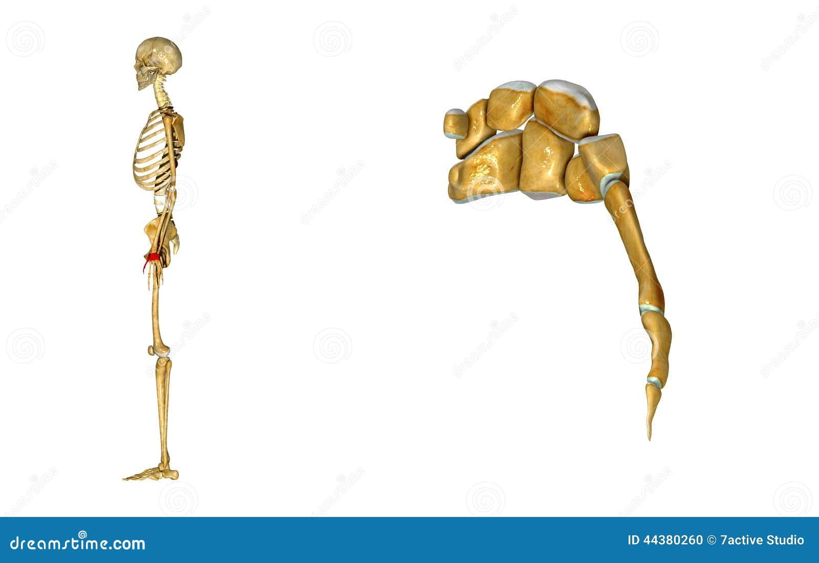 Wrist Stock Illustration Illustration Of Healthcare 44380260