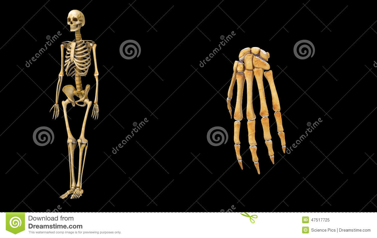 Wrist joint stock video. Illustration of education, anatomical ...