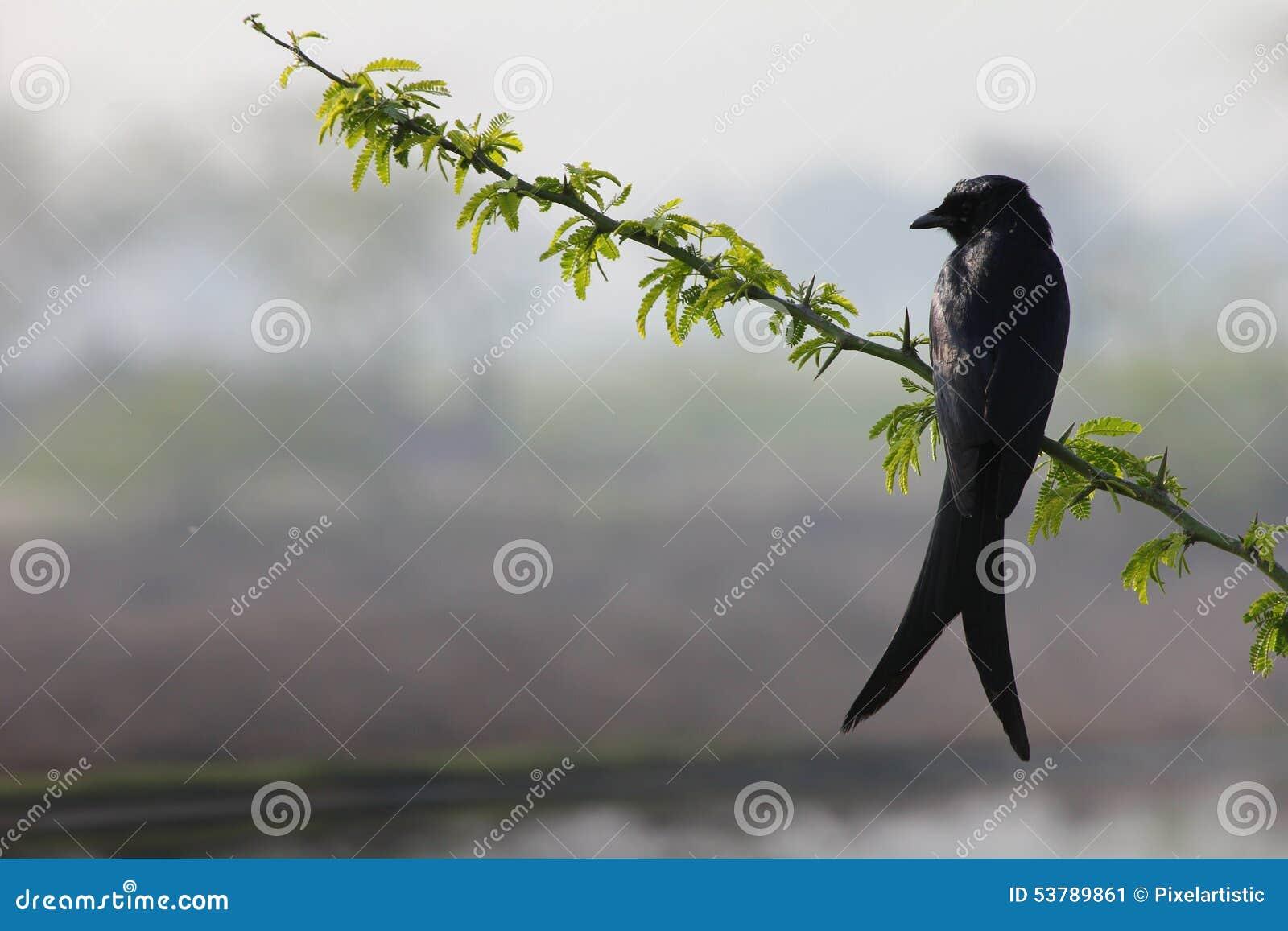 Wrona na gałąź drzewo