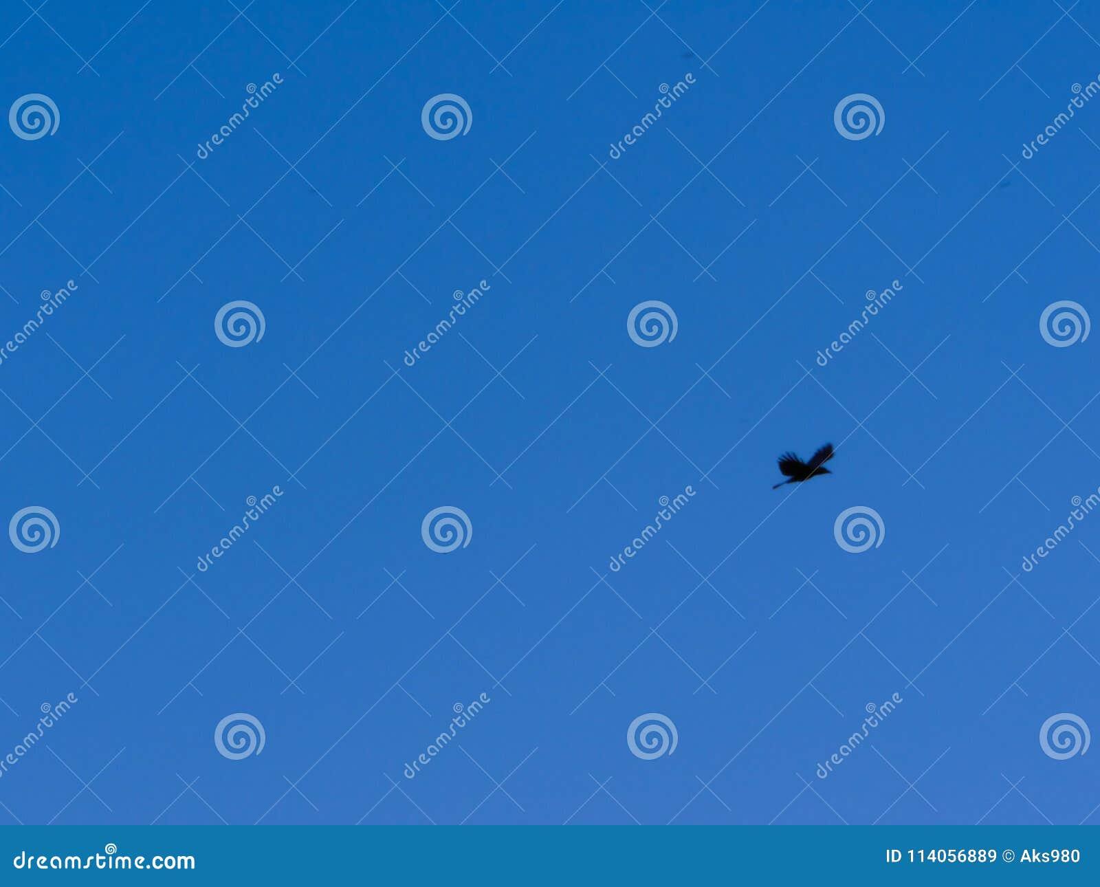 Wroni latanie przeciw jasnemu niebieskiemu niebu