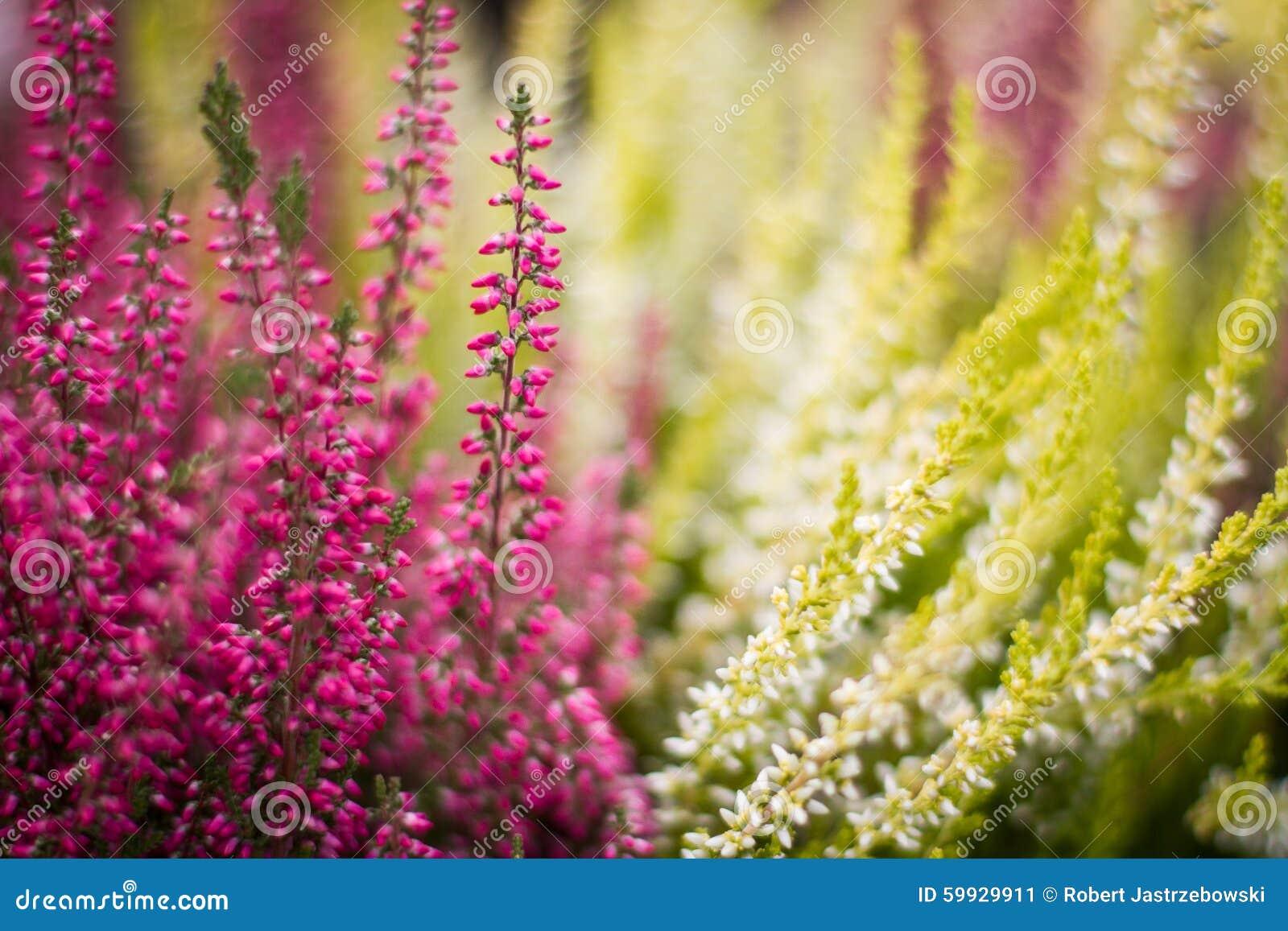 Wrzosów kwiaty