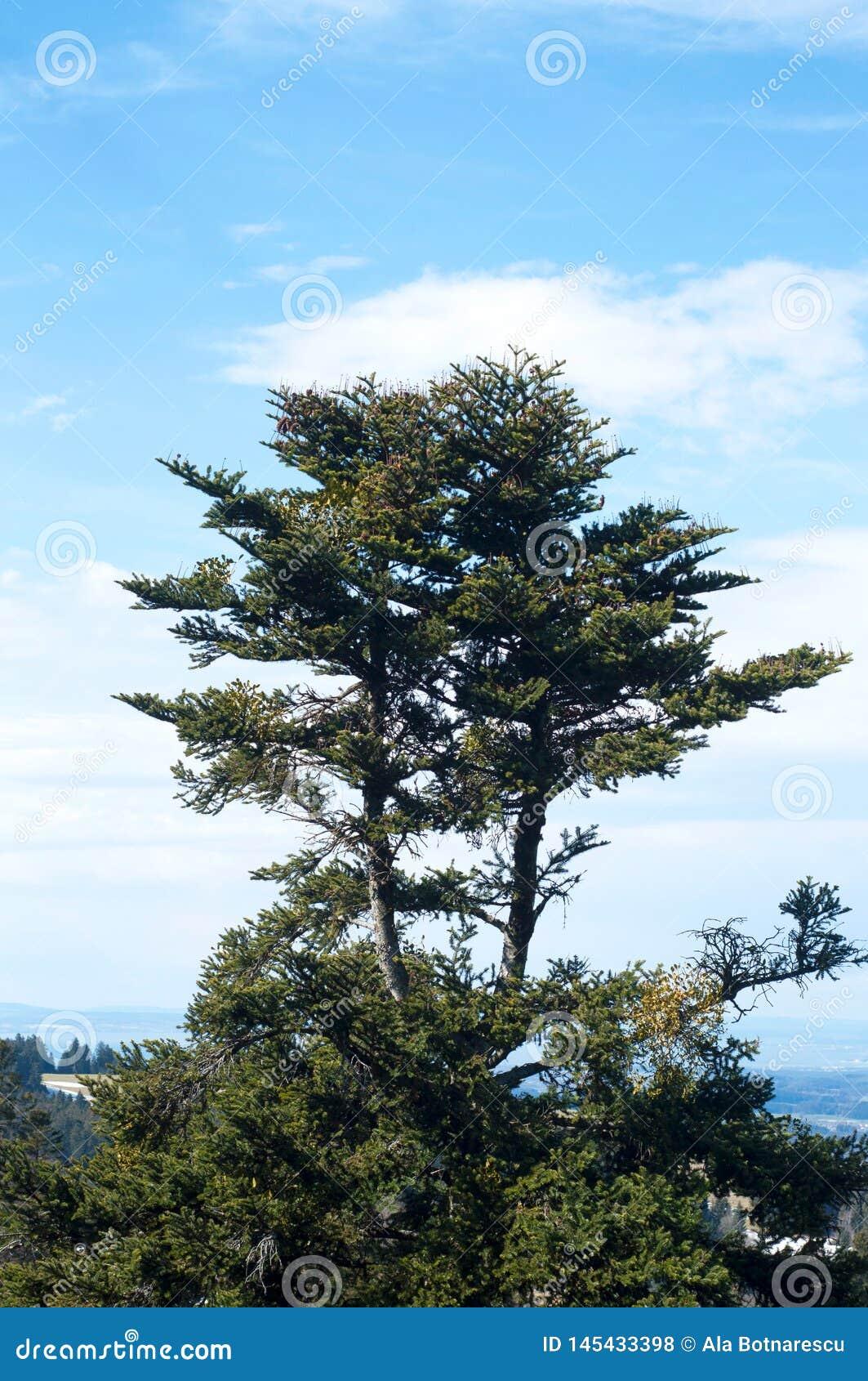 Wrzosowiskowy Calluna vulgaris i sosny w naturze na niebieskim niebie