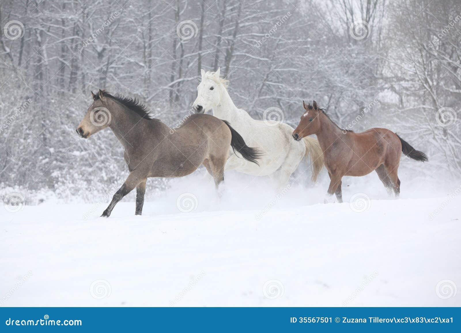 Wsad konie biega w zimie