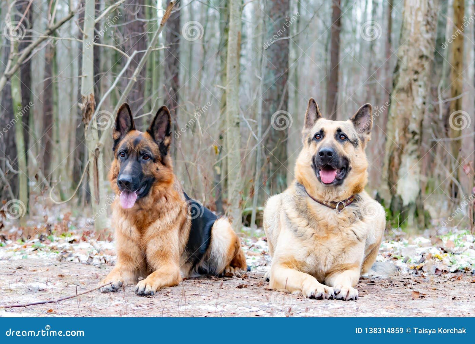Wschód - europejska baca Młody energiczny pies chodzi w lesie