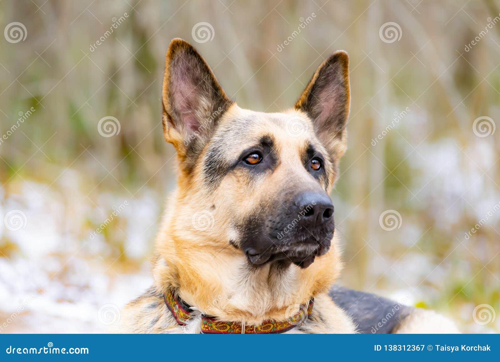 Wschód - europejska baca Młody energiczny straszący pies chodzi w lesie