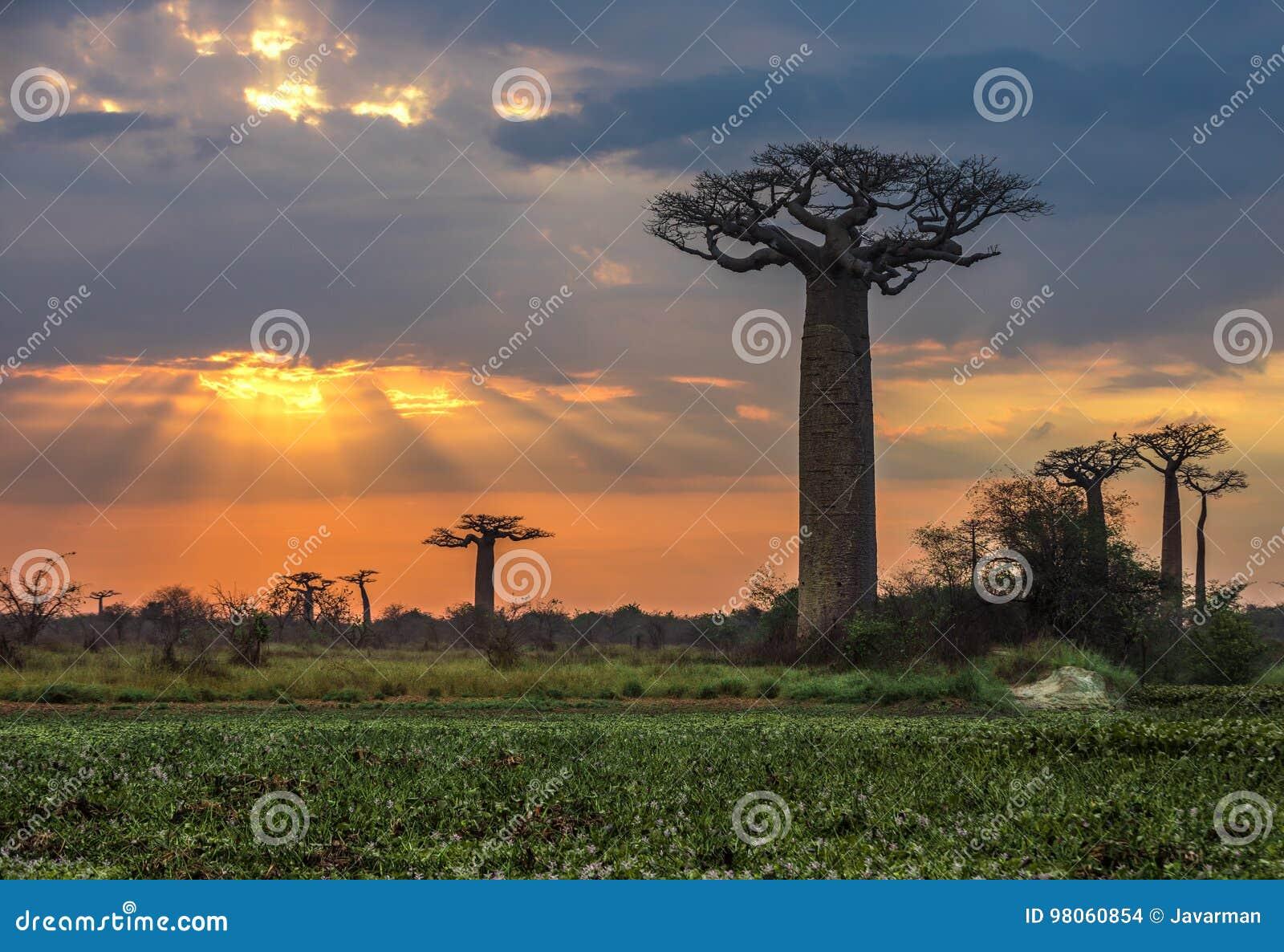 Wschód słońca nad aleją baobaby, Madagascar