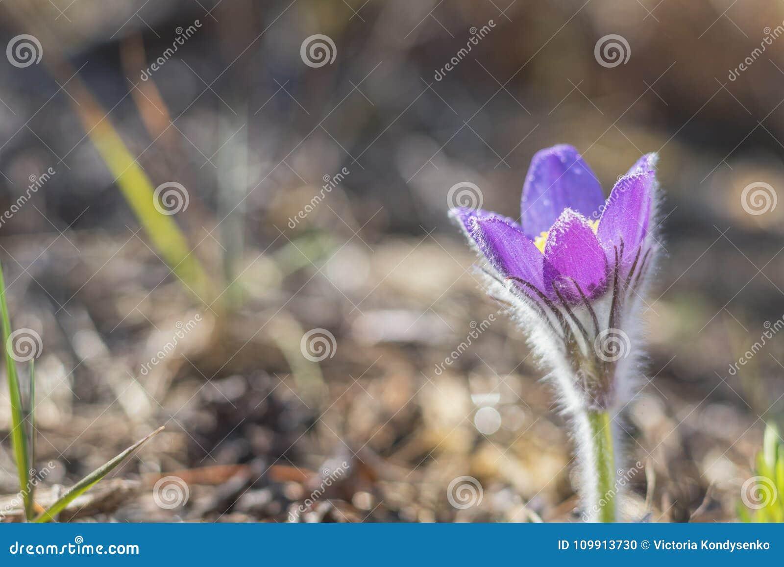Wschodni cutleaf anemon, pasque kwiat, preryjny krokusa whith dro