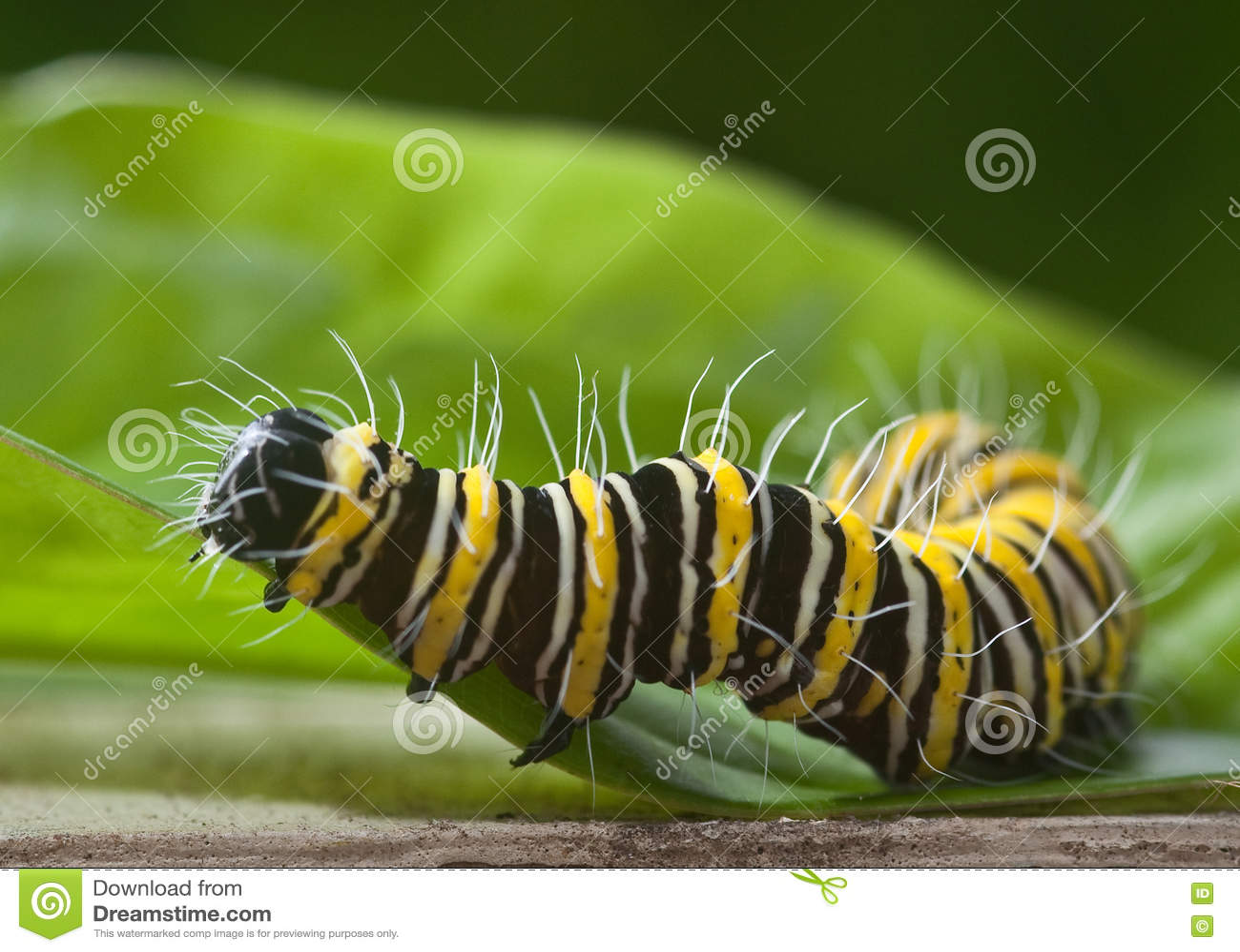 Wschodni Czarny Swallowtail motyl Caterpillar