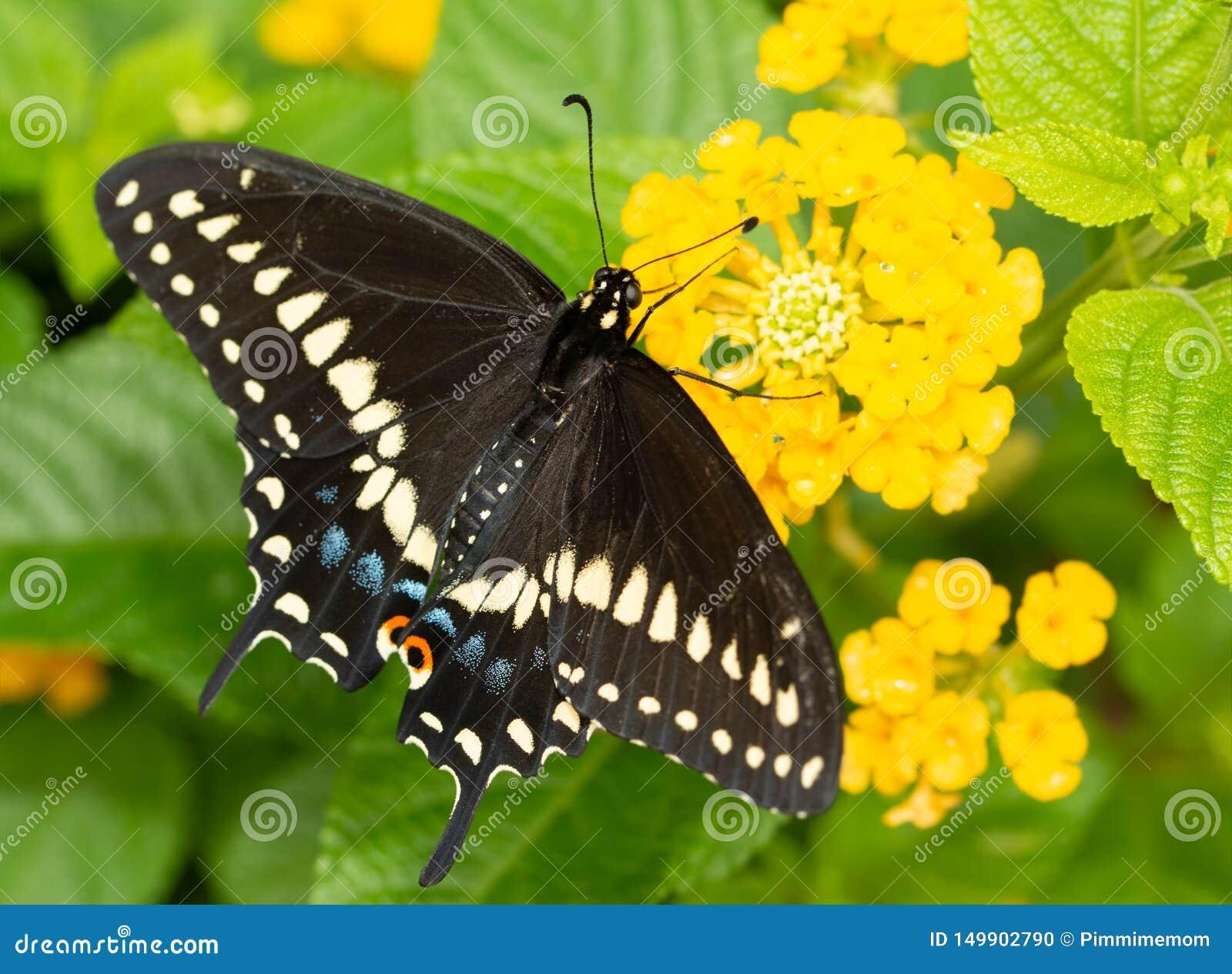 Wschodni Czarny Swallowtail motyli karmienie na żółtym Lantana kwiacie