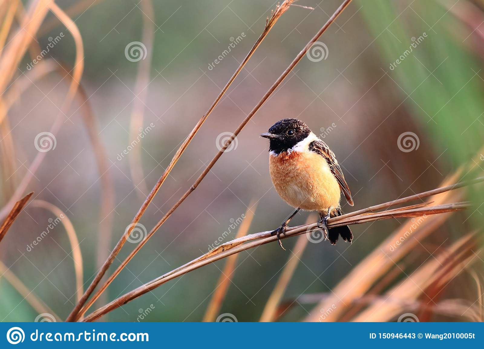 Wschodni Stonechat w morming