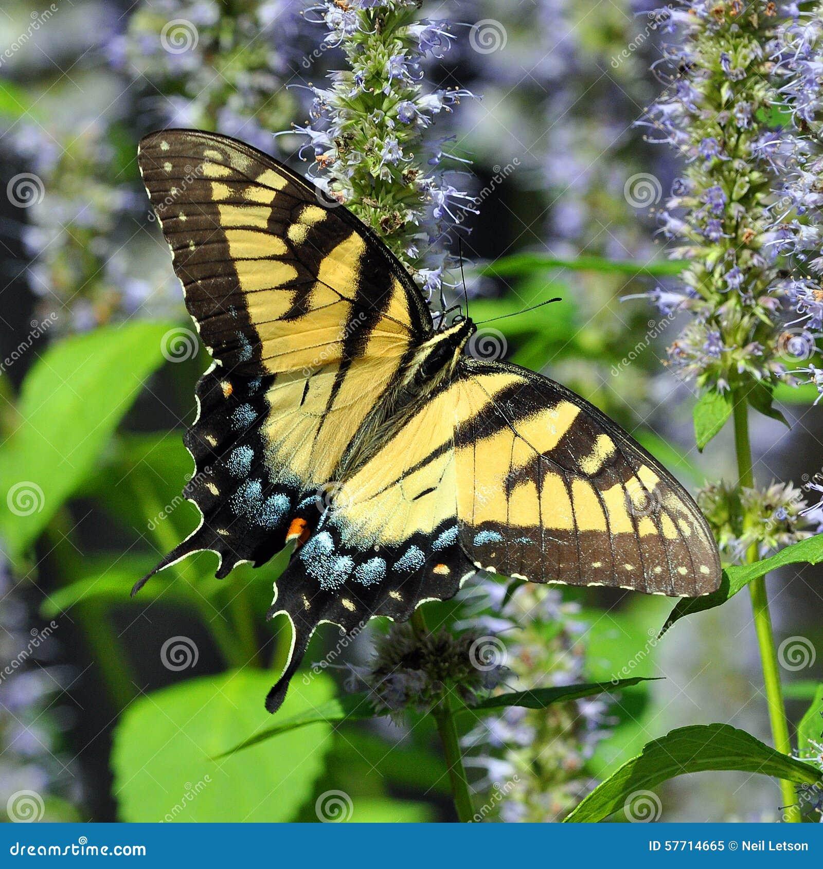 Wschodni Tygrysi Swallowtail motyl