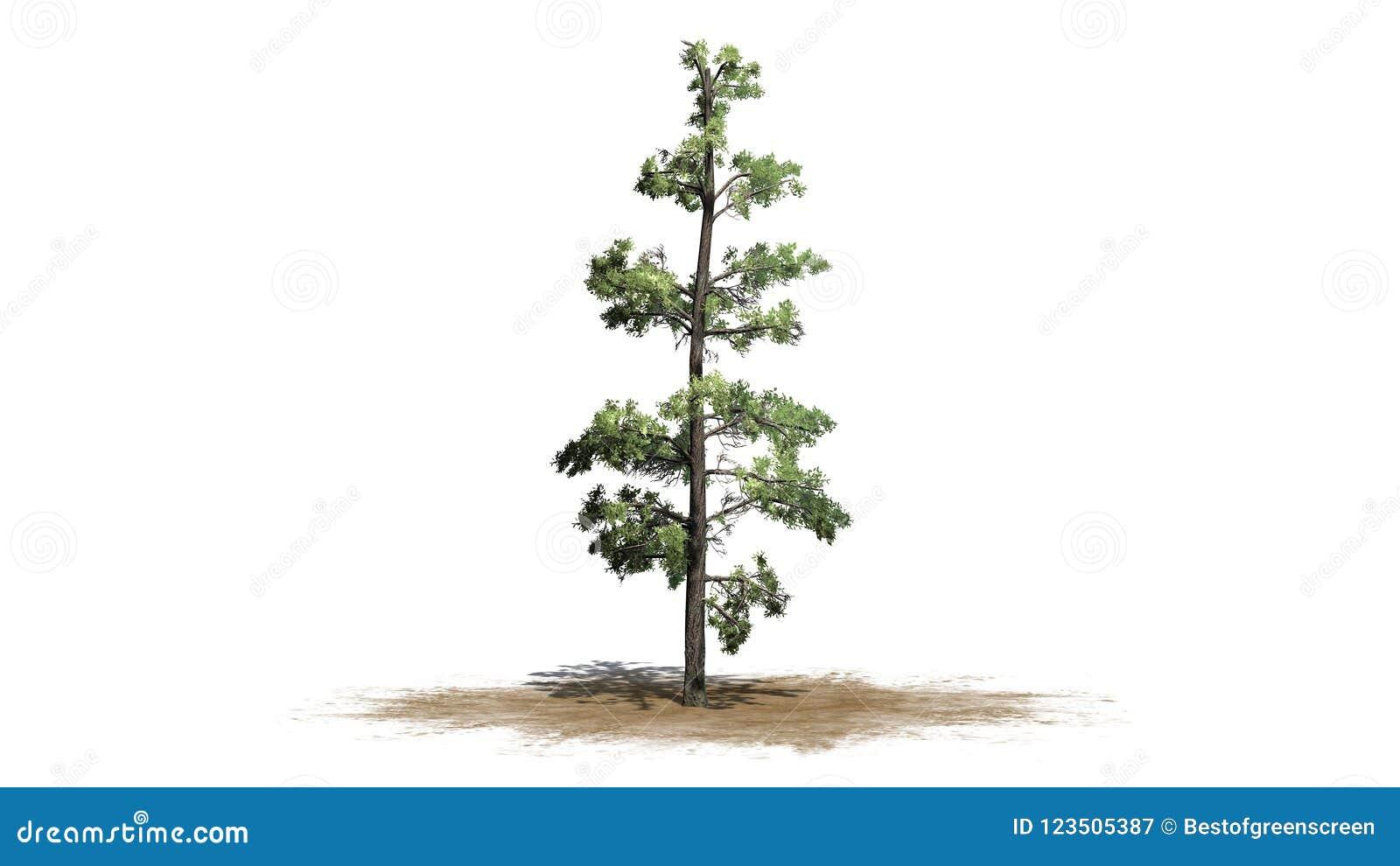 Wschodni White Pine drzewo