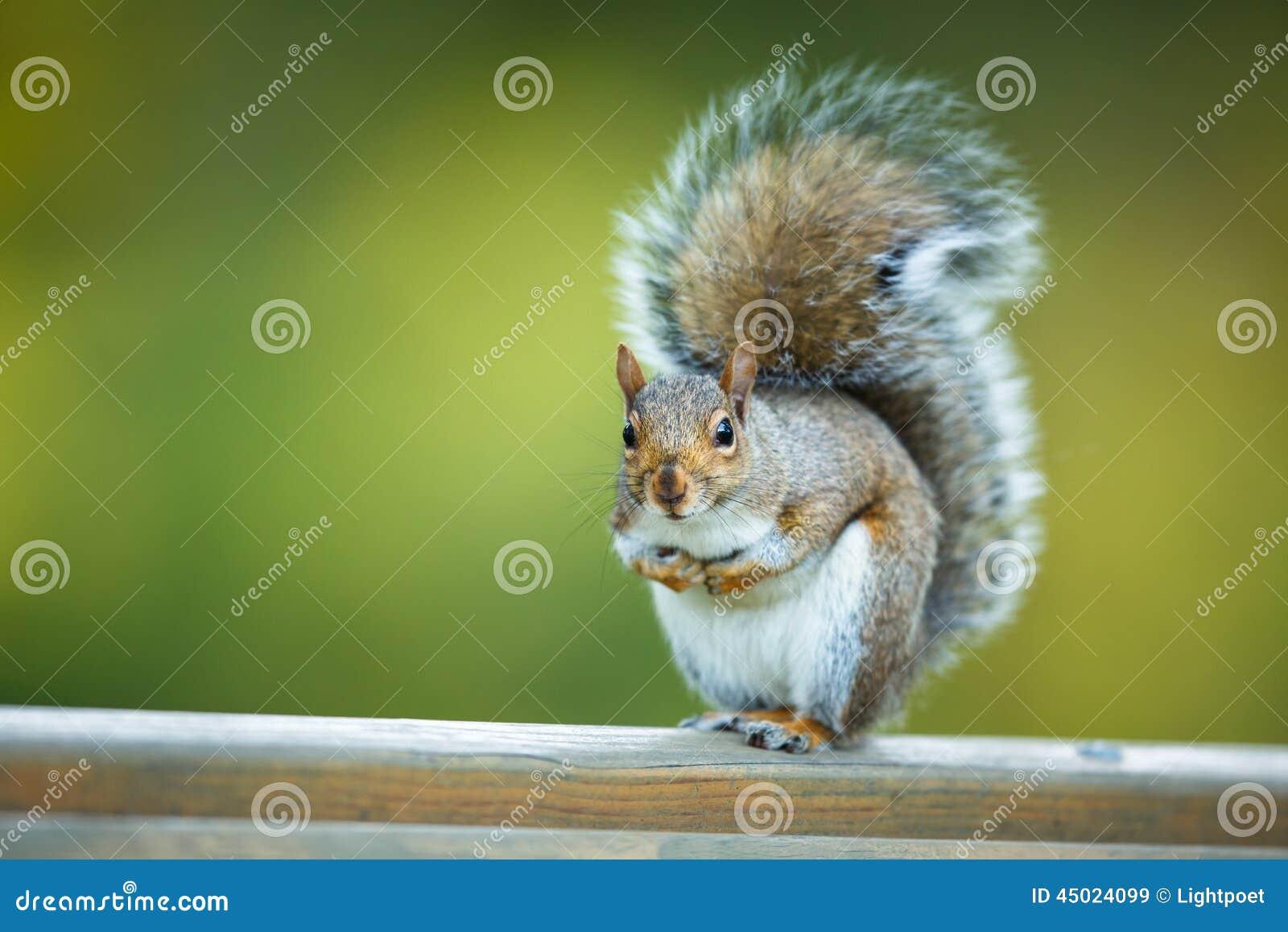 Wschodnia Popielata wiewiórka