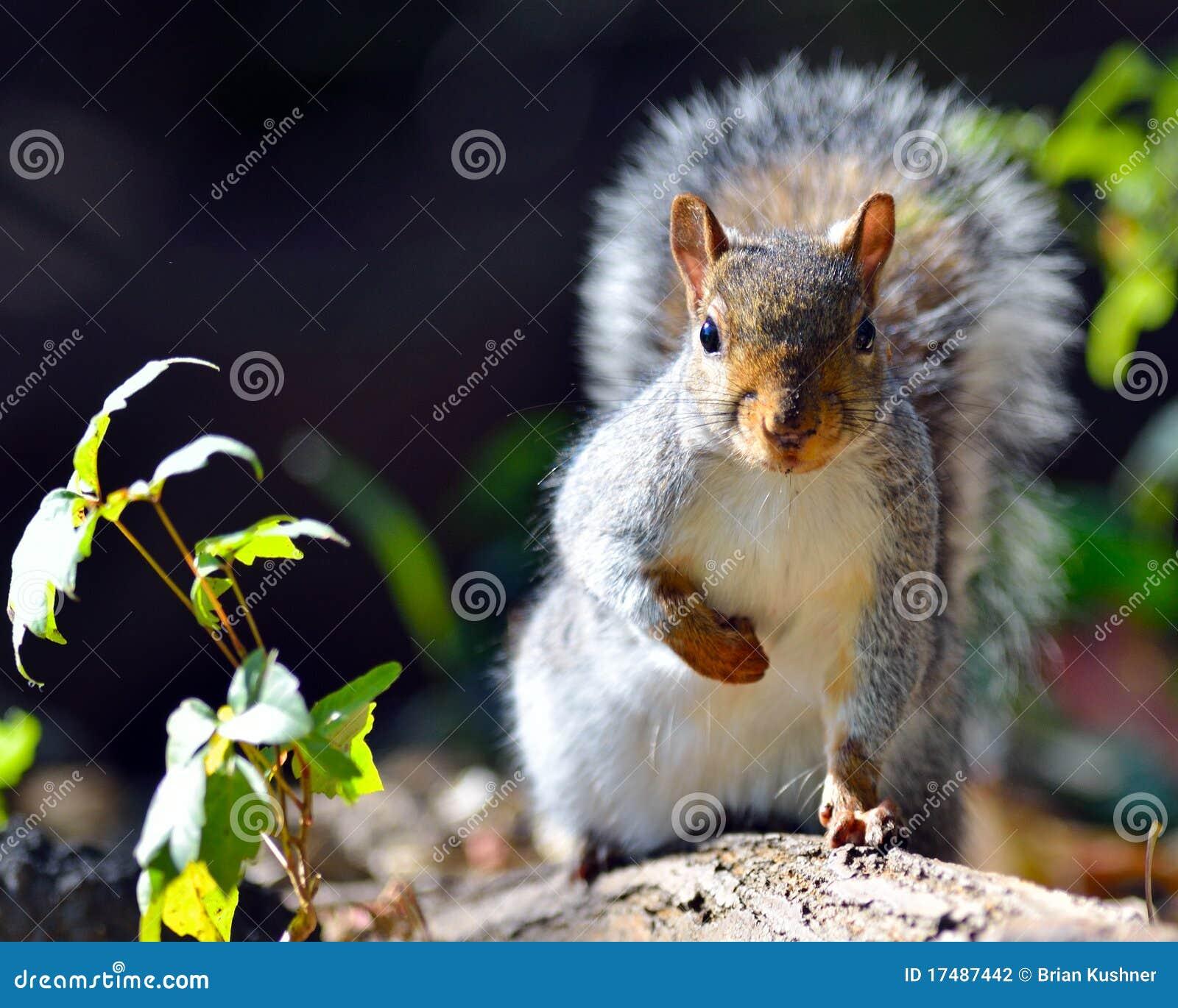 Wschodnich szarość wiewiórka